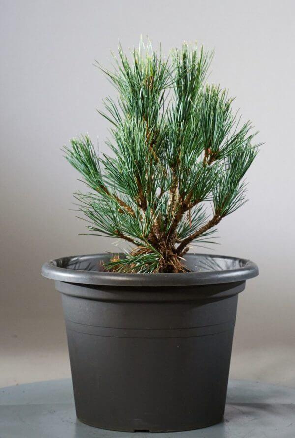 Zirbenbaum für den eigenen Garten